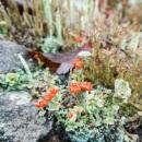punainen_jakala_red_lichen_CRW_0222.jpg
