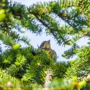 A young fieldfare hiding in a spruce CRW_2327.jpg