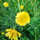 Meadow buttercups and dandelions CRW_0611.jpg