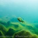 Ahven, perch, free diving, vapaasukellus