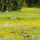 A fox in field of dandelions CRW_2266.jpg