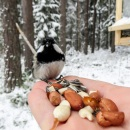 Coal tit Feeding birds from hand IMG_5804.jpg