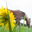 Green and yellow dandelion fields and horses CRW_4885.jpg