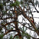 great_spotted_woodpecker_kapytikka_CRW_0194.jpg