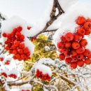 lumi_pihlajan_marjoja_rowan_berries_snow_CRW_0591.jpg