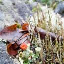 punainen_jakala_red_lichen_CRW_0223.jpg