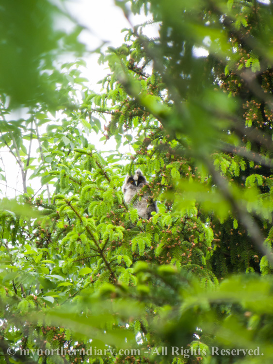 120316-290516-baby-long-eared-owls-in-boreal-forest-the-sarvipo_llo_-CRW_4871.jpg