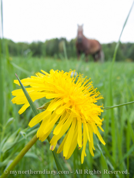 151616-290516-Green-and-yellow-dandelion-fields-and-horses-CRW_4876.jpg