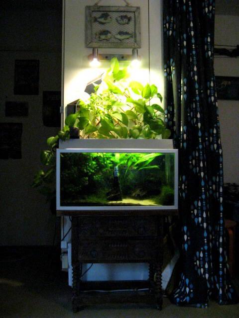 Epipremnum Aureum Aquarium My aquarium - my northern diarymy northern ...