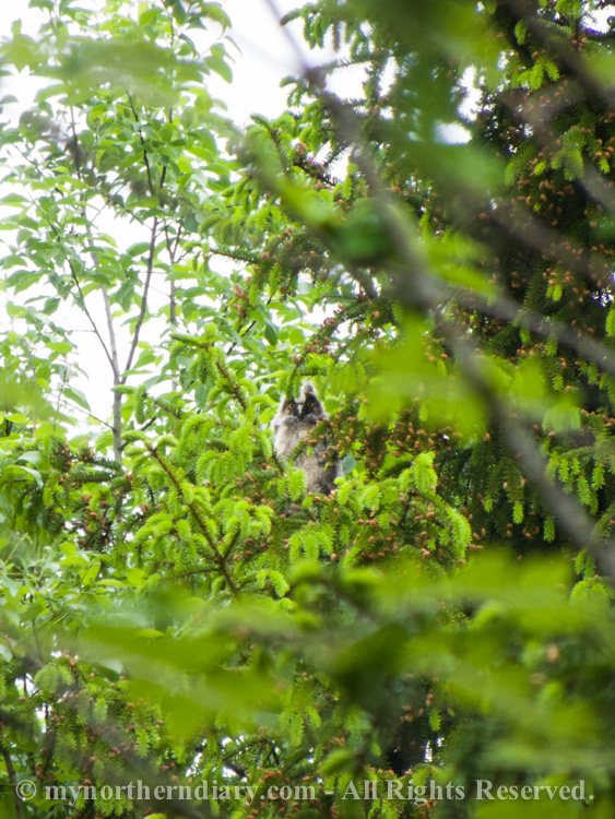 220116-290516-baby-long-eared-owls-in-boreal-forest-the-sarvipo_llo_-CRW_4866.jpg