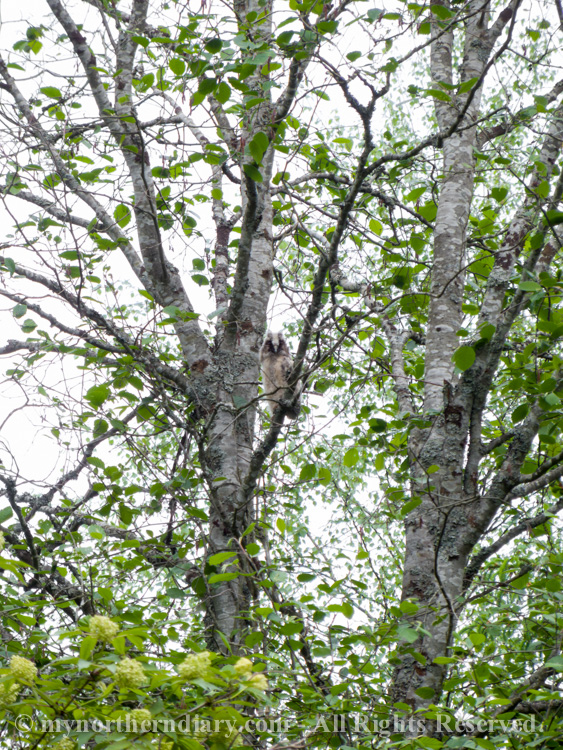 243015-290516-baby-long-eared-owls-in-boreal-forest-the-sarvipo_llo_-CRW_4857.jpg
