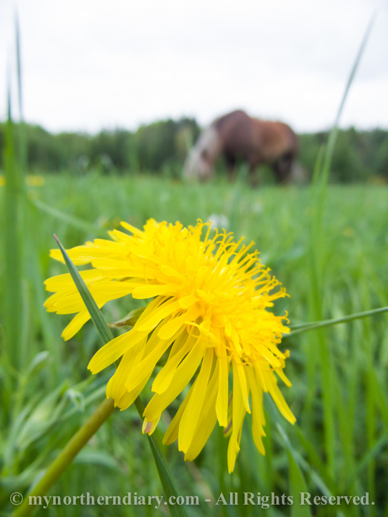 271616-290516-Green-and-yellow-dandelion-fields-and-horses-CRW_4877.jpg