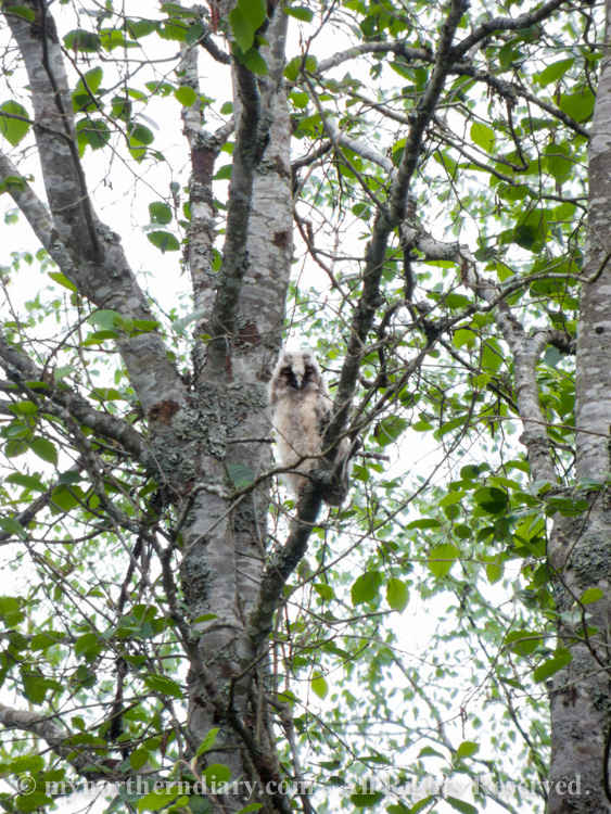 372915-290516-baby-long-eared-owls-in-boreal-forest-the-sarvipo_llo_-CRW_4856.jpg