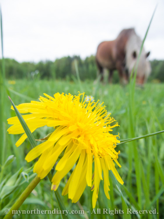 421616-290516-Green-and-yellow-dandelion-fields-and-horses-CRW_4879.jpg