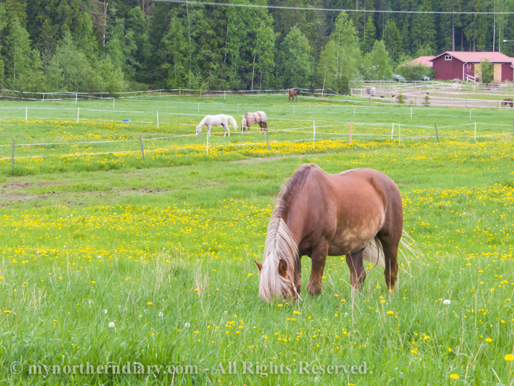 481416-290516-Green-and-yellow-dandelion-fields-and-horses-CRW_4873.jpg
