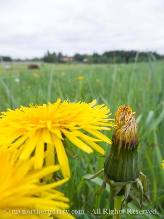 514215-290516-Green-and-yellow-dandelion-fields-and-horses-CRW_4862.jpg