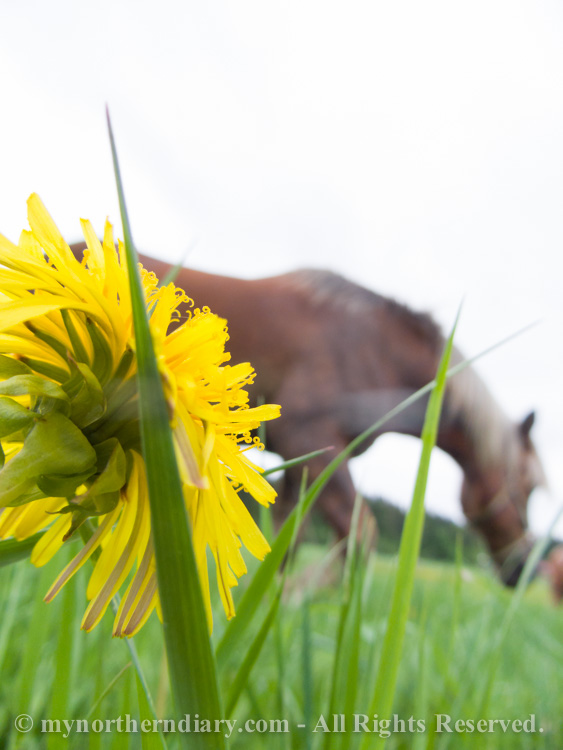 541716-290516-Green-and-yellow-dandelion-fields-and-horses-CRW_4885.jpg
