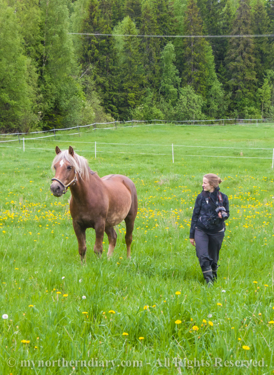 580116-290516-Green-and-yellow-dandelion-fields-and-horses-CRW_4867.jpg