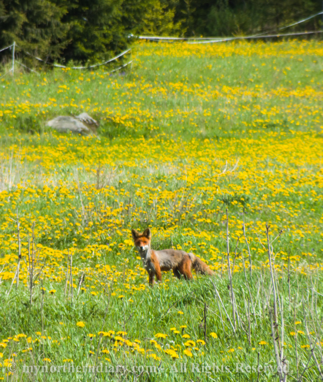 A-fox-in-field-of-dandelions-CRW_2265.jpg