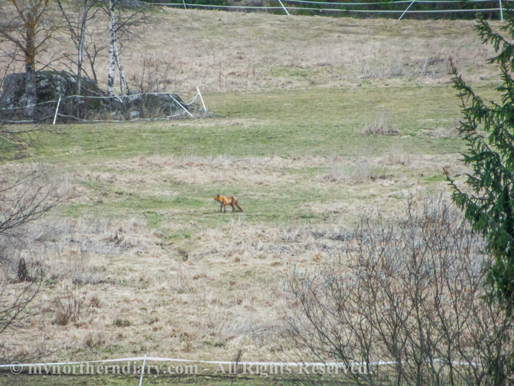 A-lonely-fox-in-field-CRW_2004.jpg