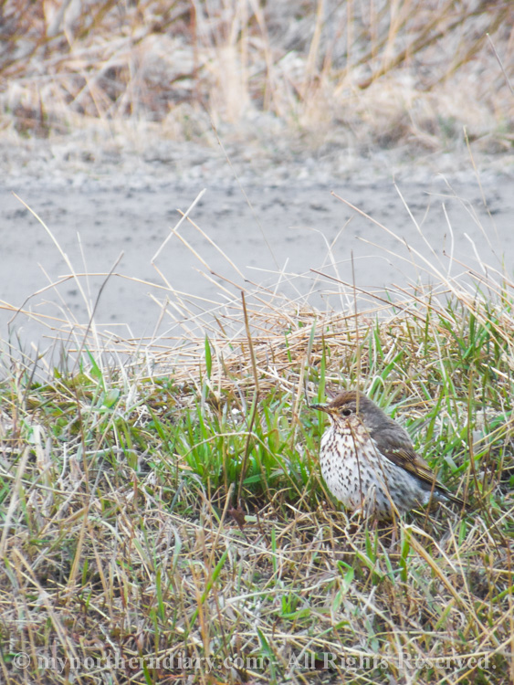 A-mistle-thrush-at-our-front-yard-CRW_2021.jpg