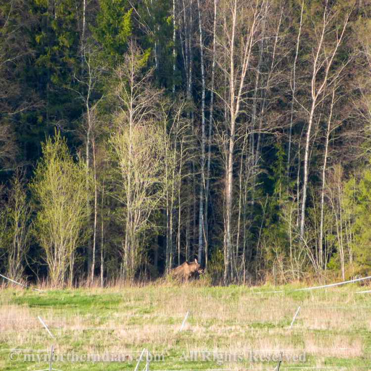 A-moose-in-the-edge-of-field-CRW_2091.jpg