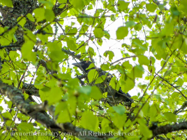 A-young-crow-hiding-in-a-birch-CRW_2352.jpg