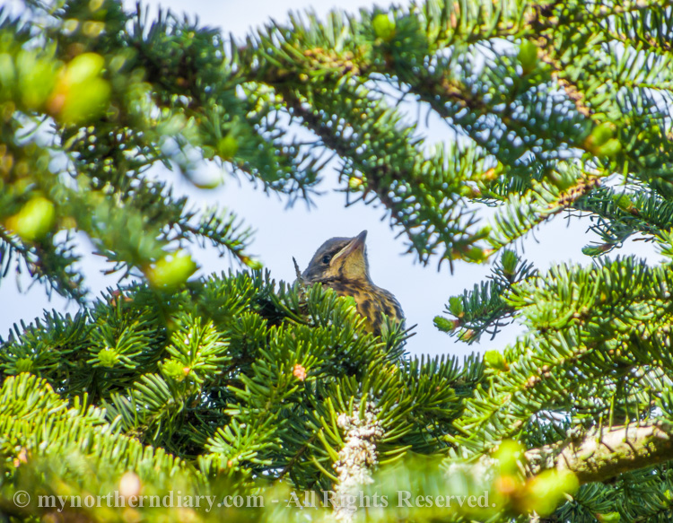 A-young-fieldfare-hiding-in-a-spruce-CRW_2327.jpg