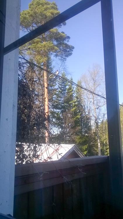 Barn-swallow-on-balcony-the-haarapa_a_sky-lintu-WP_20160505_002.jpg