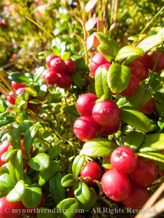 Blueberries-and-lingonberries-in-moss-CRW_3554.jpg