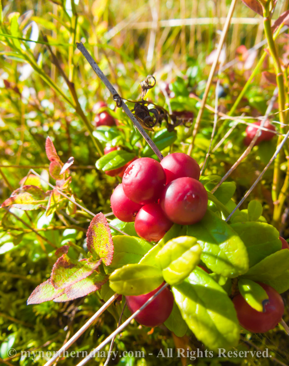 Blueberries-and-lingonberries-in-moss-CRW_3556.jpg
