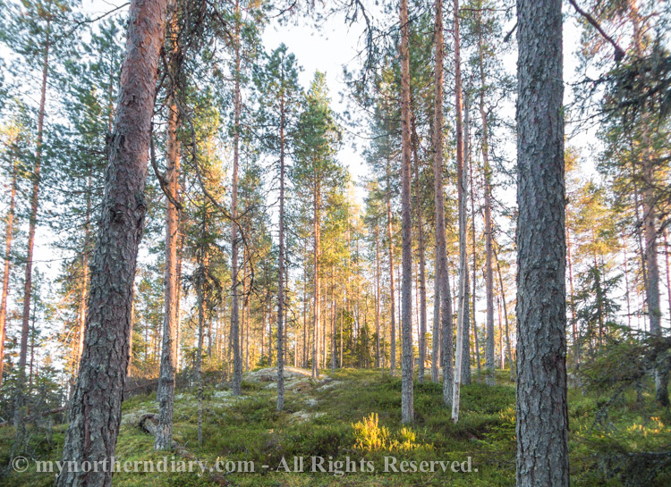 Evening sun sheds its light on a boreal pine forest on a hill
