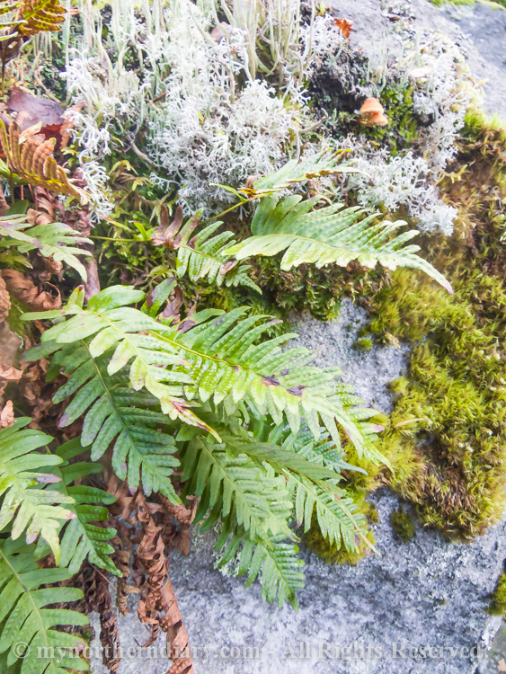 Common-polypody-in-colorfull-moss-and-lichen-CRW_4586.jpg