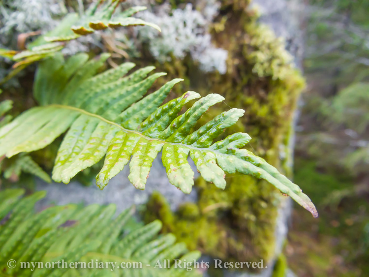 Common-polypody-in-colorfull-moss-and-lichen-CRW_4588.jpg