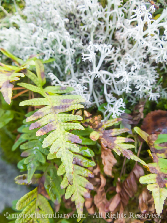 Common-polypody-in-colorfull-moss-and-lichen-CRW_4589.jpg