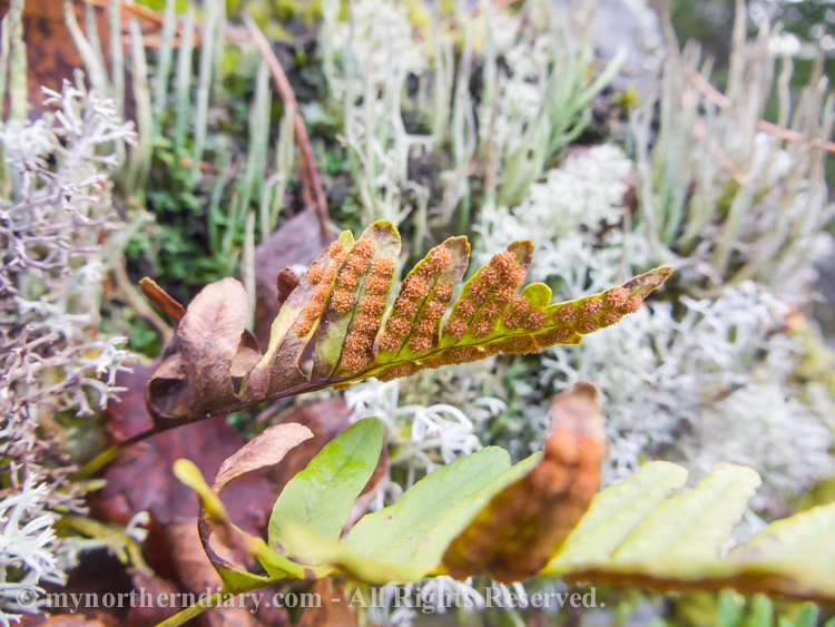 Common-polypody-in-colorfull-moss-and-lichen-CRW_4594.jpg