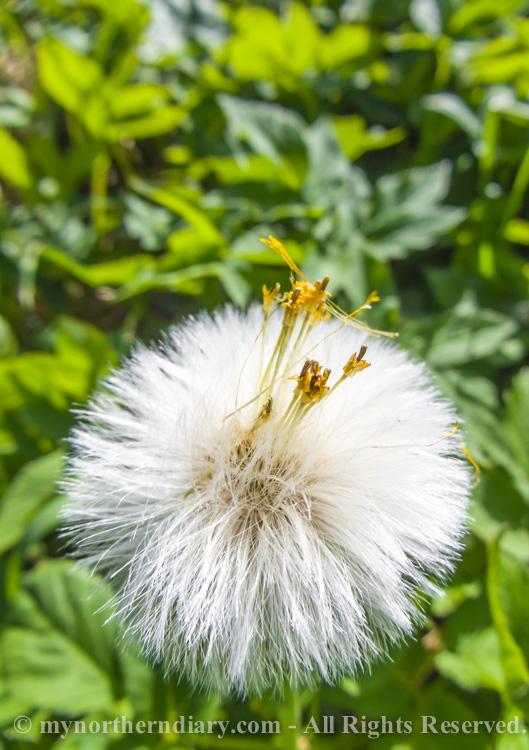 Dandelion-CRW_2325.jpg