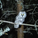 A boreal owl sitting on a branch of pine in the middle of night.