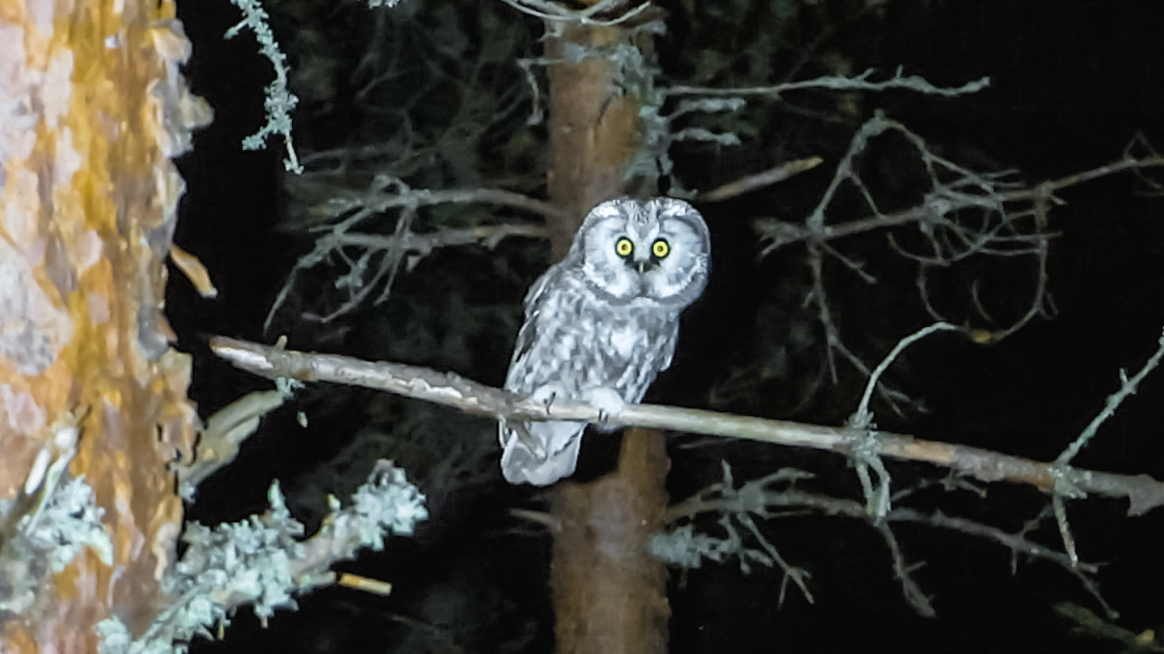 A boreal owl sitting on a branch of pine in the middle of night. Helmipöllö istuu yell männyn oksalla.