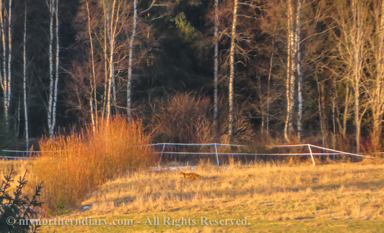 Fox-running-in-field-IMG_1495.jpg