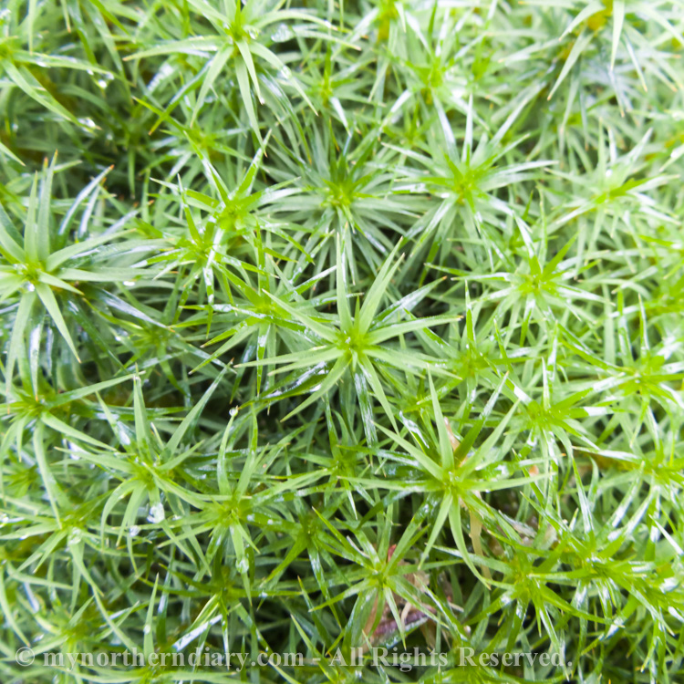 Fresh-green-moss-CRW_4567.jpg