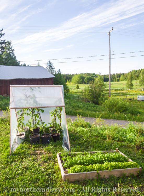 Fresh-green-plants-tomatoes-and-herbs-CRW_0602.jpg