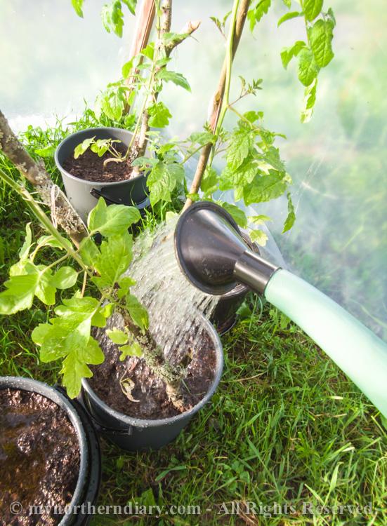 Fresh-green-plants-tomatoes-and-herbs-CRW_0603.jpg