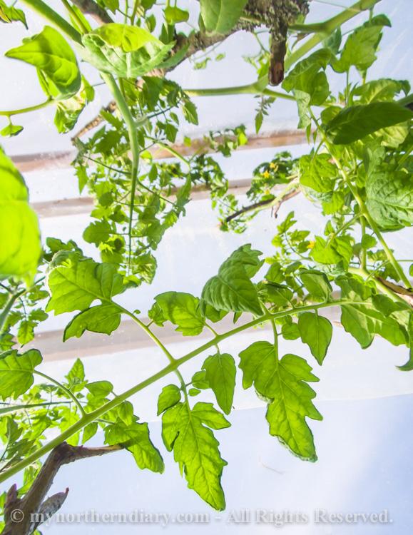 Fresh-green-plants-tomatoes-and-herbs-CRW_0604.jpg
