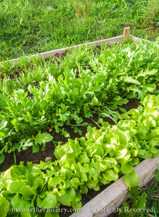 Fresh-green-plants-tomatoes-and-herbs-CRW_0606.jpg