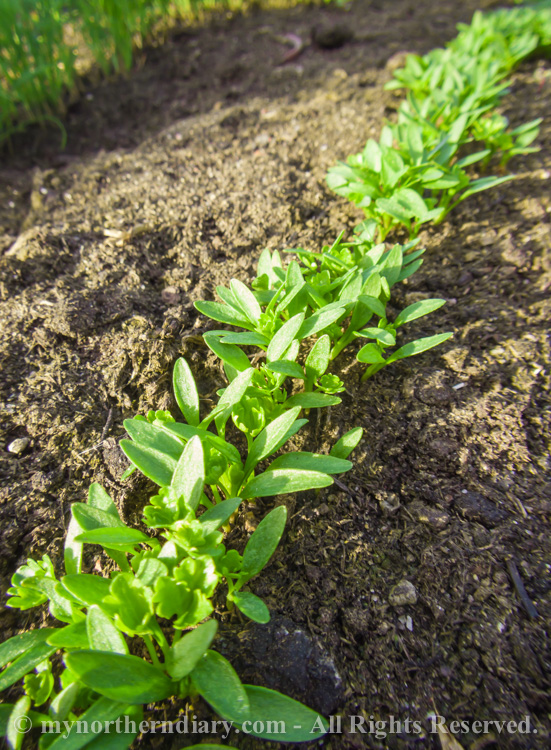 Fresh-green-plants-tomatoes-and-herbs-CRW_0607.jpg