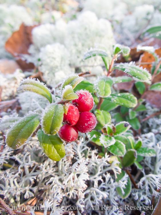 Frozen-cranberries-CRW_4527.jpg