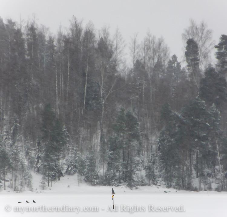 Hooded-crows-on-snowy-lake-CRW_1144.jpg