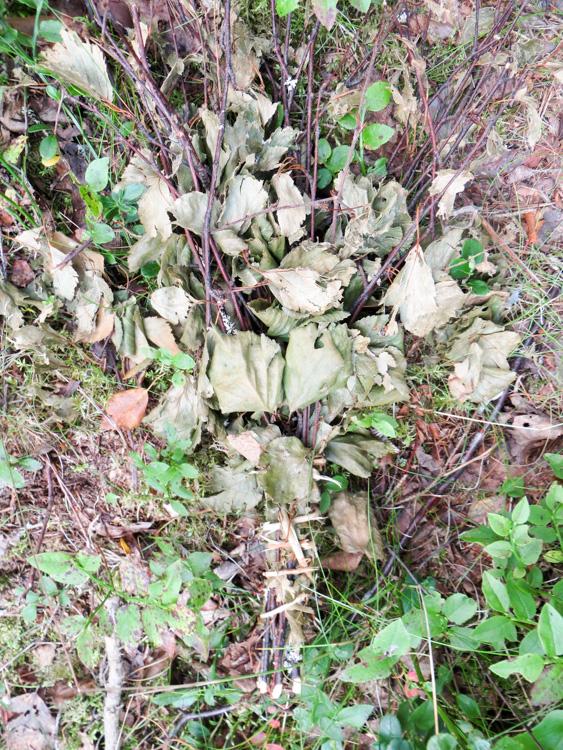Used Finnish silver birch vihta.jpg