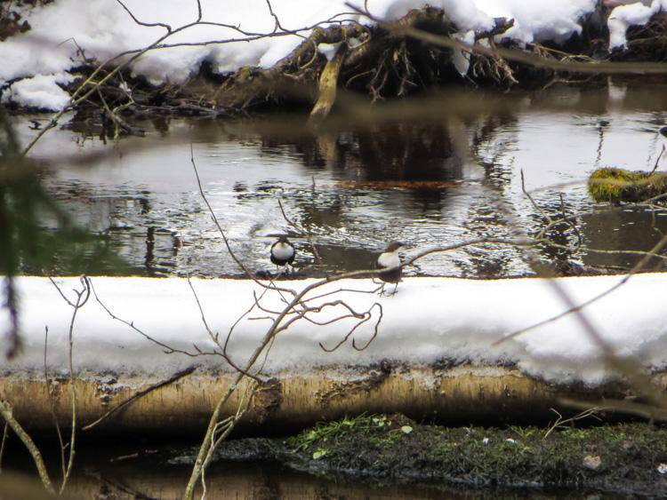 In-the-icy-kingdom-of-white-throated-dipper-the-koskikara-lintu-IMG_4731.jpg